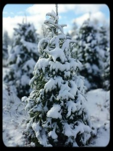 fir in snow